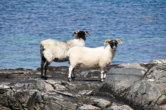 Стадо овец, Ирландии Стоковое Изображение