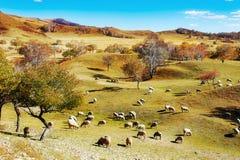 Стадо овец или коз на злаковике Стоковое Изображение RF