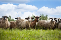 Стадо овец и козы на выгоне в природе Стоковая Фотография