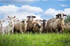 Стадо овец и козы на выгоне в природе Стоковая Фотография RF