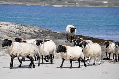 Стадо овец около моря (Ирландия) Стоковая Фотография