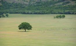 Стадо овец около дуба Стоковое Изображение