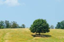 Стадо овец отдыхает на тени большого дерева на холме Стоковые Изображения RF