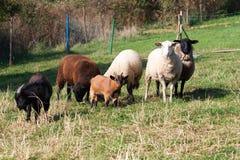 Стадо овец Стоковая Фотография RF