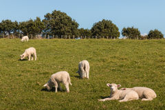 Стадо овечек пася на луге Стоковые Фотографии RF