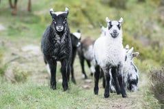 Стадо овечек Стоковое Изображение