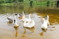 Стадо отечественных гусынь плавая в озере Стоковые Изображения