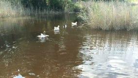 Стадо отечественных уток и гусынь птиц плавая на реку видеоматериал