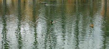 Стадо одичалых гусынь отдыхая на пруде Стоковое Изображение RF