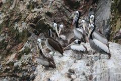 Стадо перуанского thagus Pelecanus пеликана на утесе Стоковые Фото