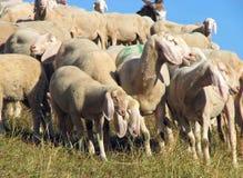 Стадо при много овец пася Стоковые Фото