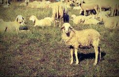 Стадо при много овец пася Стоковая Фотография