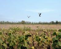 Стадо птицы в сухом поле солнцецвета Стоковое фото RF