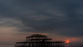 Стадо птицы над пристанью Брайтона западной на заходе солнца Стоковые Фотографии RF