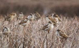 Стадо птиц воробья Стоковые Изображения