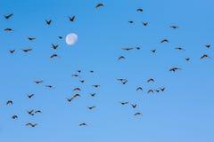 Стадо птиц летая против луны. Стоковое Фото