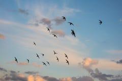 Стадо птиц летая через пламенистое небо захода солнца Сцена осени лета Горизонтальное изображение Стоковая Фотография RF