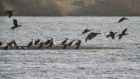 Стадо птиц shag баклана летая над озером в зиме от sa Стоковое Изображение