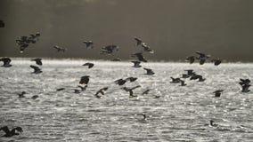 Стадо птиц shag баклана летая над озером в зиме от sa Стоковое Фото