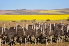 Стадо страусов Стоковые Изображения