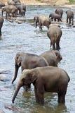 Стадо слонов в реке Стоковая Фотография