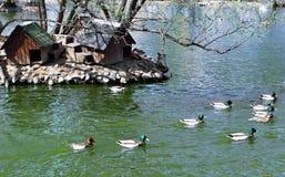 Стадо уток в пруде Стоковая Фотография