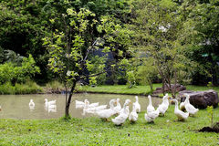 Стадо уток и гусынь в парке Стоковое Изображение