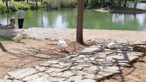 Стадо уток идя на зеленый луг, человек подавая утки на пруде сток-видео
