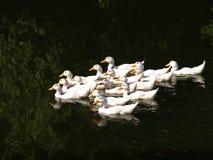 Стадо уток отечественных птиц белых плавая Concep подсобного хозяйства Стоковое Изображение