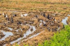 Стадо уток фуражирует еду в поле риса стоковые фото