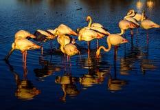 Стадо фламинго на заходе солнца Стоковая Фотография