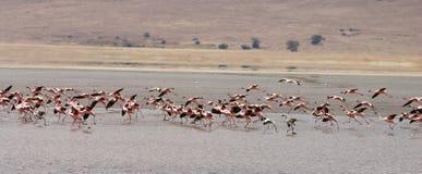 Стадо фламинго Стоковое фото RF