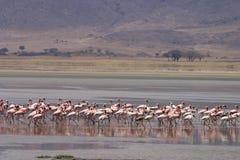 Стадо фламинго Стоковые Изображения RF