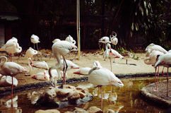 Стадо фламинго стоковые фото