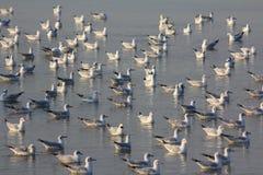 Стадо чайки стоковая фотография