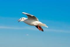 Стадо чайок летает 11 Стоковое Изображение RF