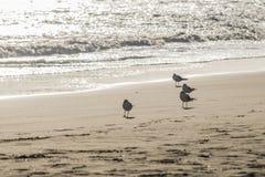 Стадо чайок ждать на пляже Стоковые Фотографии RF
