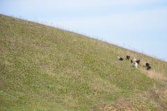 Стадо черно-белых коз стоя на выгоне Стоковые Изображения RF