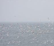 Стадо черных возглавленных чаек на море Стоковые Фото