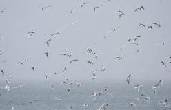 Стадо черных возглавленных чаек на море Стоковые Фотографии RF