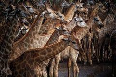 Стадо Abstrack жирафа в одичалом Стоковая Фотография