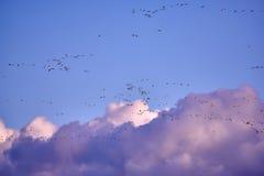 стадо gooses Канады Стоковая Фотография RF