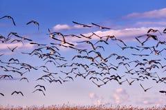 стадо gooses Канады Стоковые Фото