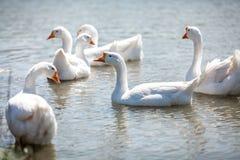 Стадо gooses на воде Стоковые Изображения