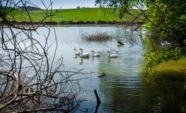 Стадо gooses плавая в пруде на поле Стоковые Фото