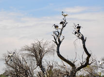 Стадо Ibises: Черно-белый в природе Стоковое Изображение RF