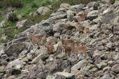 Стадо mouflons в Пиренеи Стоковое Изображение