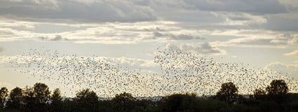 Стадо starlings Стоковая Фотография