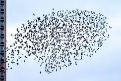 Стадо starlings Стоковые Изображения RF