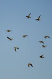 Стадо Wilson' s стрелять летание в голубом небе Стоковое Изображение